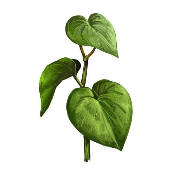 Kava is an aphrodisiac